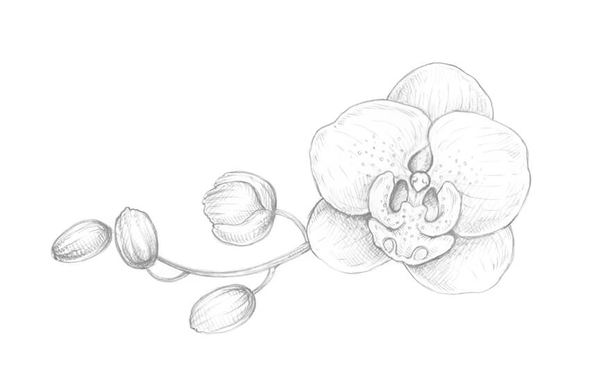 Orchid Flower Line Drawing : How to draw an orchid with pastel pencils themekeeper