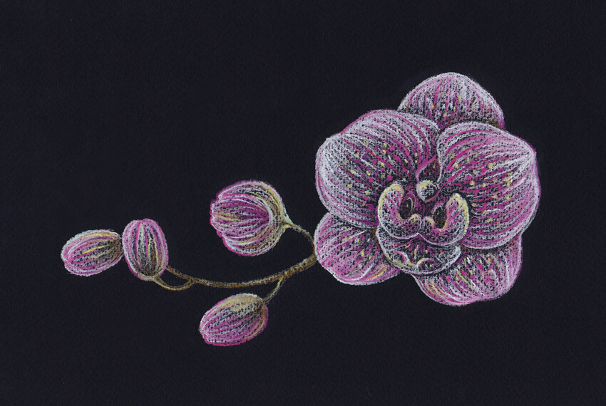 How to Draw an Orchid With Pastel Pencils