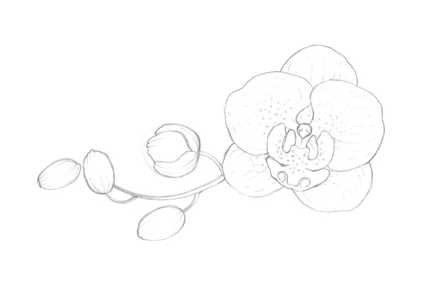 Drawing Lines With Core Graphics : How to draw an orchid with pastel pencils