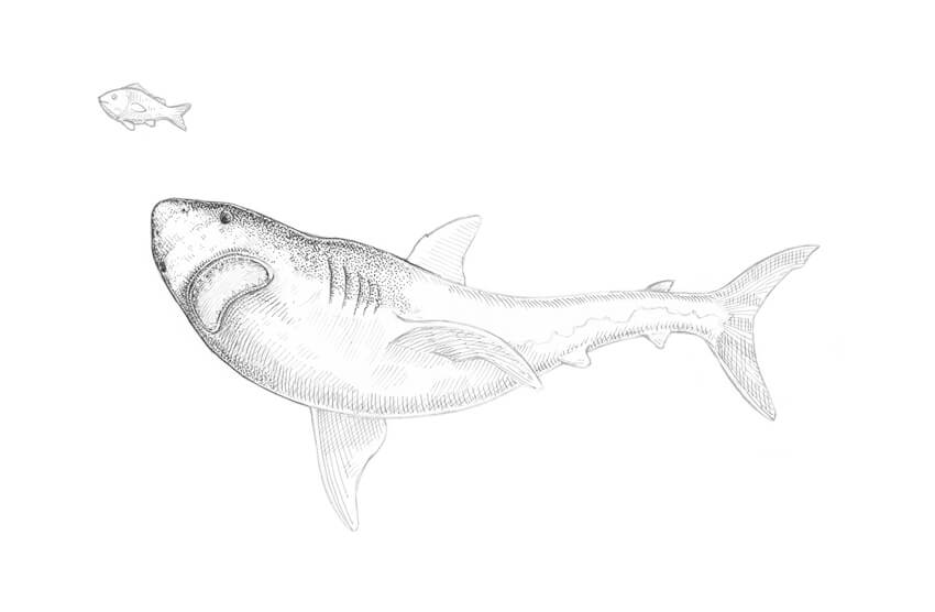 Making the shark more three-dimensional adding the contour