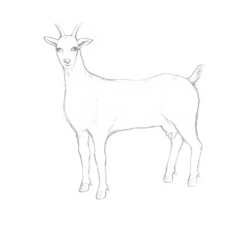 How To Draw A Goat Step By