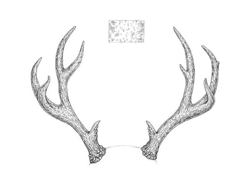 Completing the drawing of deer antlers