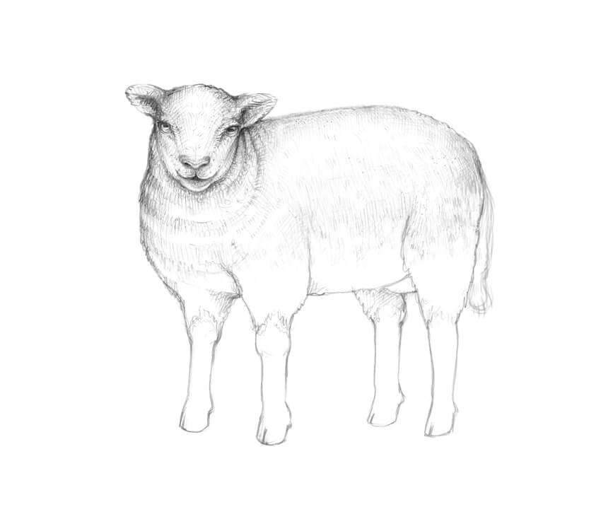 How to Draw a Sheep
