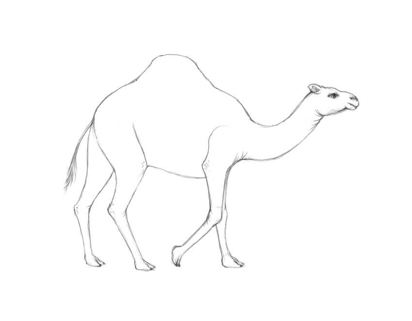 Картинки верблюда для срисовки, для оксаны